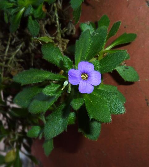 Lonesome Aubretia Flower (Aubretia)