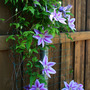 _TEXAS_012.CLEMATIS