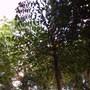 Caryota urens [ solitary fishtail palm] (Caryota urens [ fishtail palm solitary ])