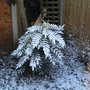 Mahonia covered in snow