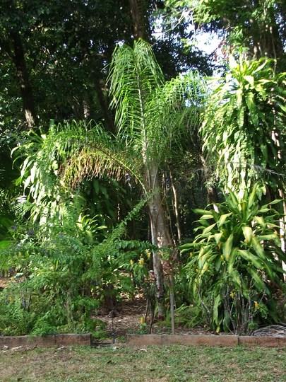 Queen Palm.Syagrus  romanzoffiana (Syagrus romanzoffiana[ queen palm ])