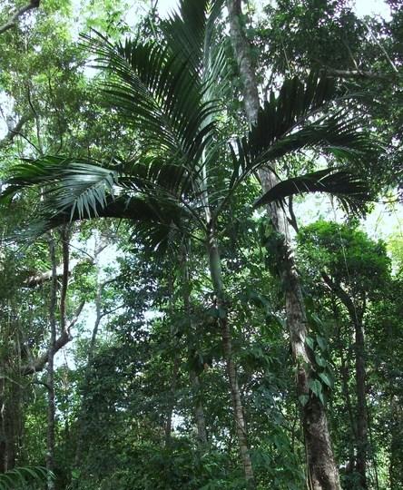 Archontophoenix alexandrae [ alexander palm] (Archontophoenix alexandrae (Alexander Palm))