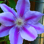 _TEXAS_014.CLEMATIS