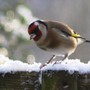 One_goldfinch