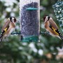 Two_goldfinch