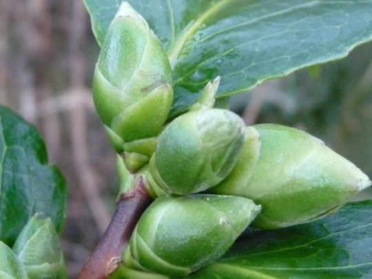 Camellia buds...soon be in flower...:o) (Camellia)