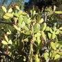 Opuntia ficus-indica - Prickly Pear, Tuna Cactus (Opuntia ficus-indica - Prickly Pear, Tuna Cactus)