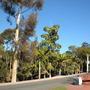 Eucalytus, Fishtail, King and Norfolk Island Palms (Eucalytus, Fishtail, King and Norfolk Island Palms)