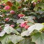 Dombeya wallichii - Pink Ball Tree, Tropical Hydrangea (Dombeya wallichii - Pink Ball Tree, Tropical Hydrangea)