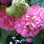 Dombeya wallichii - Pink Ball Tree, Tropical Hydrangea Flowers (Dombeya wallichii - Pink Ball Tree, Tropical Hydrangea)