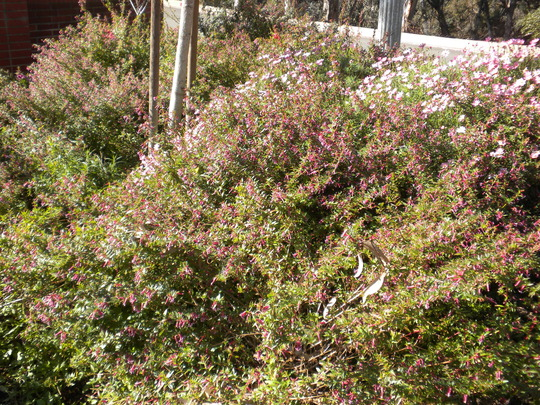 Cuphea ignea - Cigar Plants (Cuphea ignea - Cigar Plants)
