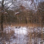 Roe Deer at Askham Bog - 2-Jan-2010