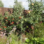 3yr_old_apple_trees_beth_russet_bramley