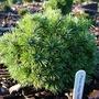 Pinus mugo 'National Arboretum'