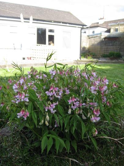 Spring is just around the corner  (Lathyrus vernus 'Albo-roseus')