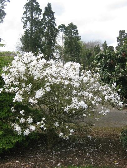 Magnolia_stellata.jpg