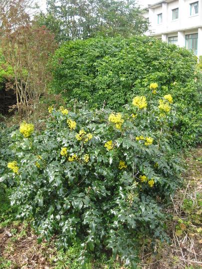 Mahonia_aquifolium.jpg (Mahonia aquifolium (Oregon grape))