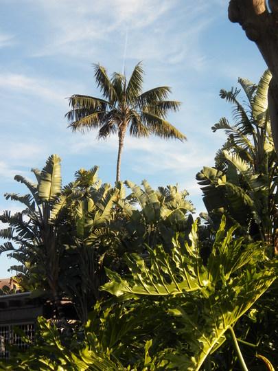 Very Tall Howea fosteriana - Kentia Palm at C Level Restaurant on Harbor Island, San Diego, CA (Howea fosteriana - Kentia Palm)