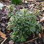 Ilex aquifolium 'Wichtel'