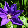_TEXAS_017.CLEMATIS