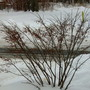 Euonymous alatus in it's winter garb...