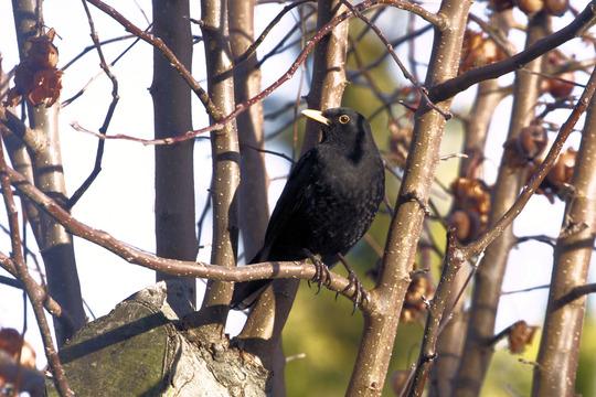 My resident blackbird