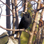My resident blackbird