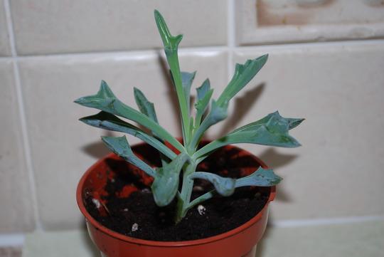 Another succulent for our collection... (Senecio  Kleiniiformis.)