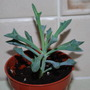 Another succulent for our collection... (Senecio  Kleiniiformis.)