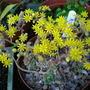 Aichryson bethencourtianum (Aichryson bethencourtianum)
