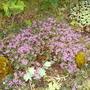 Carroway Thyme (Thymus herba-barona) (Thymus herba barona)