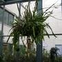 Cereus (Epiphyllum oxypetalum)