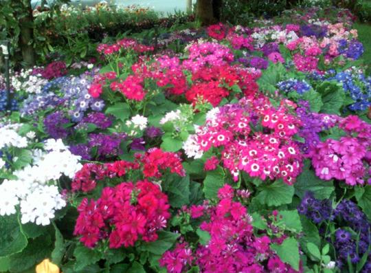 The cineraria garden (Senecio cineraria (Senecio))