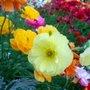 Ranunculus close up (Ranunculus asiaticus)