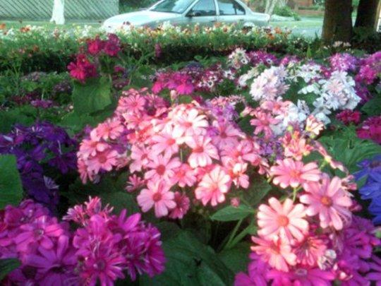 pink cinerarias (Senecio cruentus)
