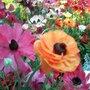 Pink and orange ranunculus flowers (ranunculus asiaticus)