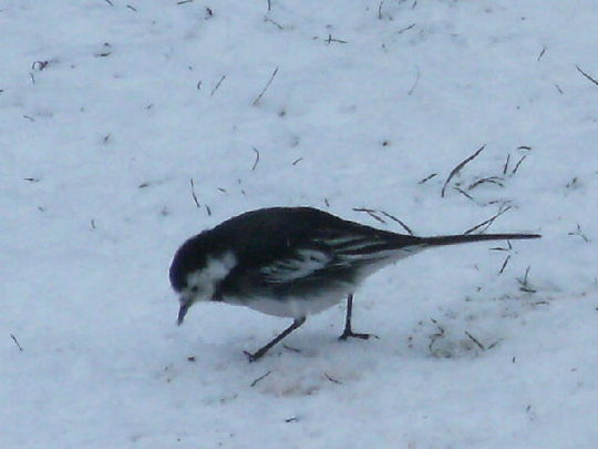 MY   ...Pied Wagtail