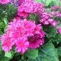 Pink_Cinerarias_flowers_3.jpg