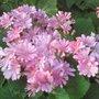 Pink_Cinerarias_flowers_2.jpg