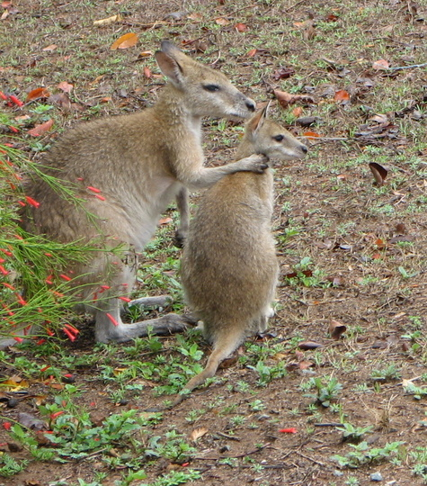 Mid-summer downunder: the Agile Wallabies are now finding some green grass.