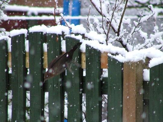 blackbird diving into snow
