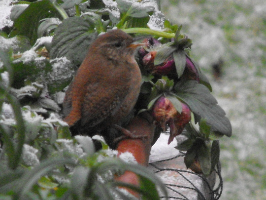 Miss Jenny Wren has been to see us...........