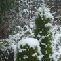 Dream Topping.....? (Cupressus    Goldcrest)