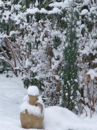 Juniper.....Blue Arrow (Juniperus  scopulorum  - Blue Arrow)