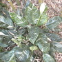 Spathiphyllum 'Domino' (Spathiphyllum 'Domino')
