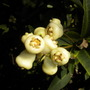 Syzygium samarangense -  Young Wax Jambu Fruits (Syzygium samarangense - Wax Jambu)