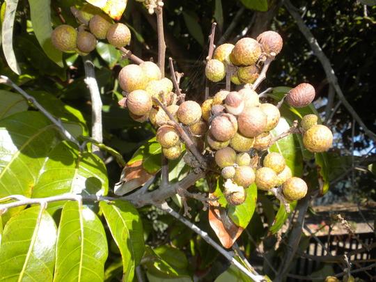 Dimocarpus longan - Longan,  Dragon's Eye Fruit (Dimocarpus longan - Longan)
