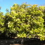 Dimocarpus longan - Longan (Dimocarpus longan - Longan)