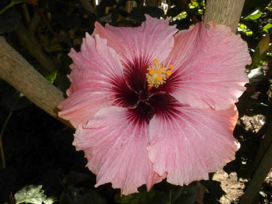Hibiscus rosa-sinensis 'High Voltage'  (Hibiscus rosa-sinensis 'High Voltage')