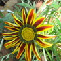 A bit of colour from downunder ... and it's not white. (Gazania)